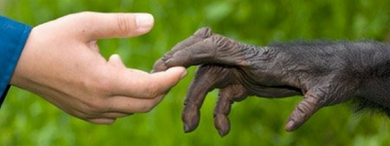 Mensenrechten voor Chimpansees Blog Thumbnail 785x295 | Rowena Goes Ape
