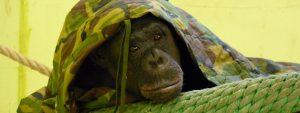 Slapen in een Chimpansee nest Blog Thumbnail 785x295 | Rowena Goes Ape