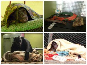 Slapen in een Chimpansee nest | Rowena Goes Ape (3-4-5-6)