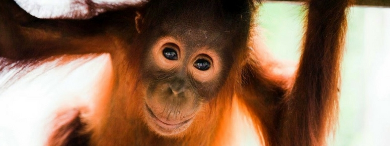 The Last Orangutan Eden Blog Thumbnail 785x295 | Rowena Goes Ape 2