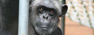 Chimpansee beter geheugen dan mens Blog Thumbnail 785x295   Rowena Goes Ape