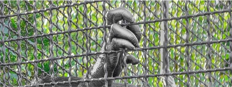 Rechten voor een Chimpansee