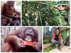 Orang-Oetans in Borneo 2 Verrijking | Rowena Goes Ape (2)