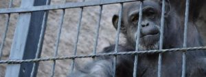 Chimpansee Nonhuman Rights Blog | Rowena Goes Ape
