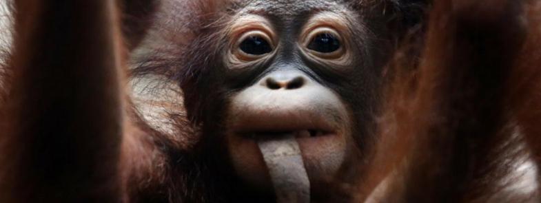 Orang-Oetans zeggen meer dan je denkt Blog | Rowena Goes Ape