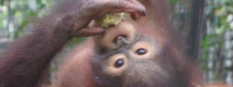 Orang-Oetan Profielen Gereed Blog | Rowena Goes Ape
