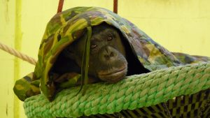 Stichting AAP - Chimpansee | Go-Ape