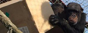 Verrijking voor de Chimpansees Blog Thumbnail 785x295 | Rowena Goes Ape