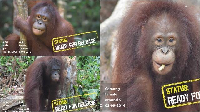 Vrijheid voor drie Orang-Oetans Blog | Go-Ape (3-4-5)