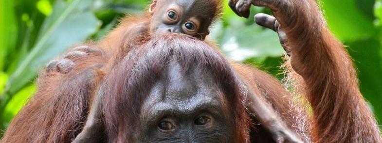 Orang-Oetans medicijn uit planten Blog Thumbnail 785x295 | Rowena Goes Ape
