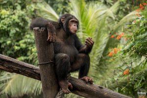 Limbe Wildlife Centre Blog   Rowena Goes Ape (2)