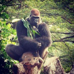 ABP Kap Ermee Blog | Rowena Goes Ape (2 Geredde Gorilla in Limbe Wildlife Centre)
