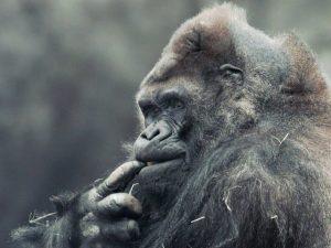 Ik ben een Gorilla Blog | Rowena Goes Ape (a)