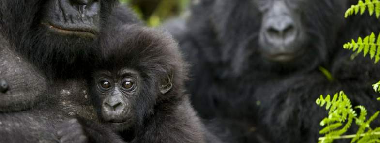Virunga Blog Thumbnail 785x295 | Rowena Goes Ape (Foto: Brent Stirton)