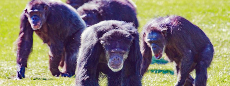 Save The Chimps Blog Thumbnail 785x295 | Rowena Goes Ape