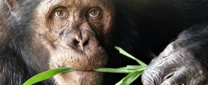 Chimpansee met Mensenogen Blog Thumbnail 785x295 | Rowena Goes Ape