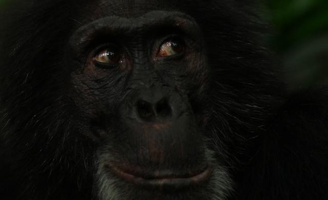 Chimpansee met Mensenogen | Rowena Goes Ape (1)