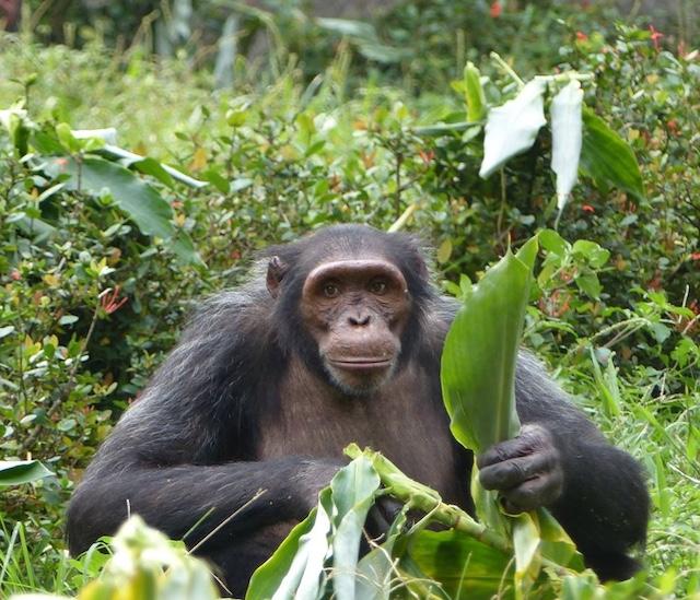 Chimpansee met Mensenogen | Rowena Goes Ape (3)