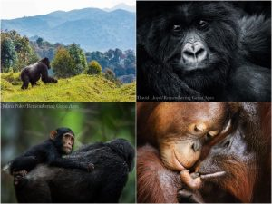 Remembering Great Apes Blog   Rowena Goes Ape (collage)