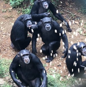 Peanuts for Chimpanzees in Cameroon | Rowena Goes Ape