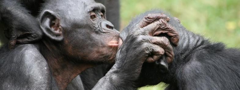Bonobo Valentijnsdag Blog Thumbnail 785x295 | Rowena Goes Ape