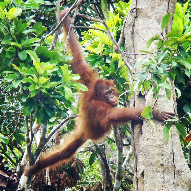 Project Borneo 2018 | Rowena Goes Ape (E)