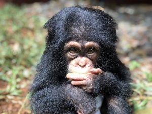 Chimpansee Symbool Sierra Leone Blog | Rowena Goes Ape (1)
