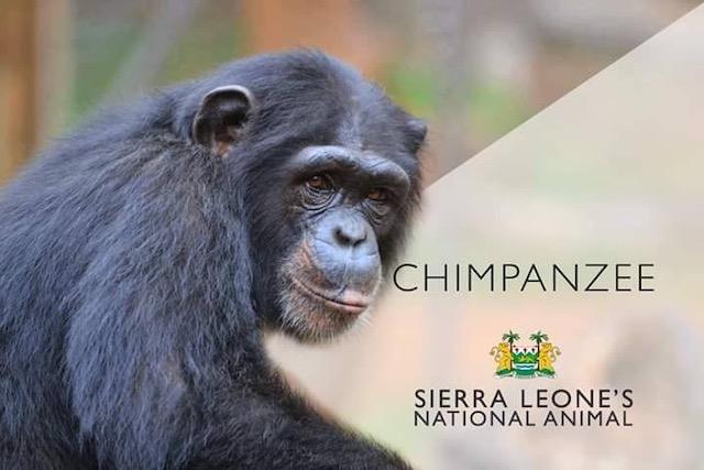 Chimpansee Symbool Sierra Leone Blog | Rowena Goes Ape (2)