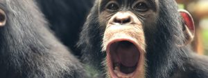 Chimpansee Symbool Sierra Leone Blog Thumbnail 785x295 | Rowena Goes Ape
