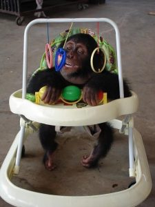 Limbe Wildlife op de valreep Blog   Rowena Goes Ape (4A)