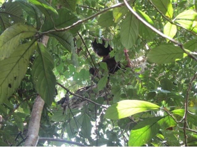 Update Orang-Oetans Borneo Blog | Rowena Goes Ape (1)