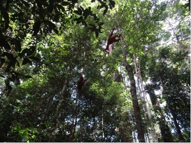 Update Orang-Oetans Borneo Blog | Rowena Goes Ape (2)