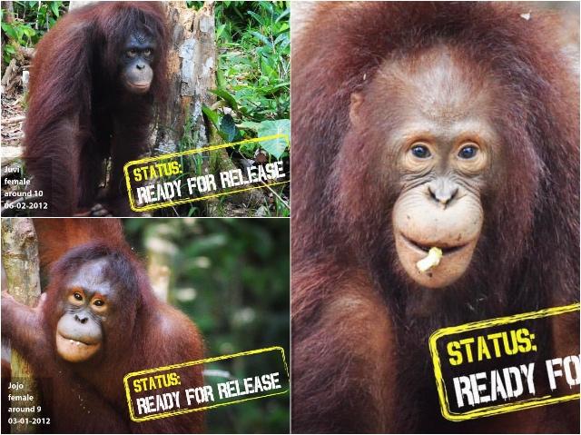 Update Orang-Oetans Borneo Blog | Rowena Goes Ape (7-8-9)