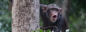 Sierra Leone Chimpansee Blog Thumbnail 785x295   Rowena Goes Ape