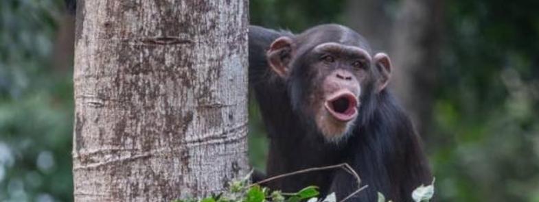 Sierra Leone Chimpansee Blog Thumbnail 785x295 | Rowena Goes Ape