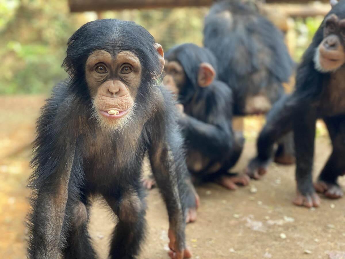 animalstoday-chimpansee-baby-tacugama-Rowena Goes Ape (1)