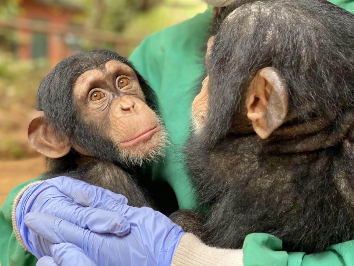 animalstoday-chimpansee-baby-tacugama-geruststellen-Rowena Goes Ape (5)