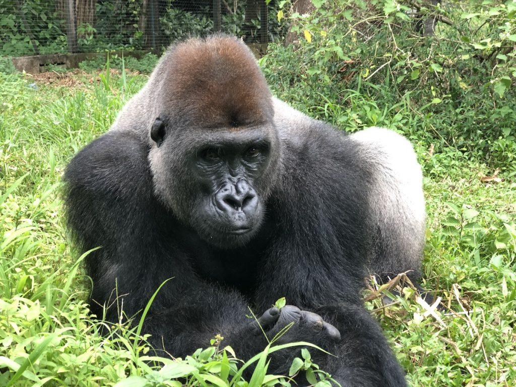 Werken in een opvangcentrum Limbe Wildlife Centre | Rowena Goes Ape (3)
