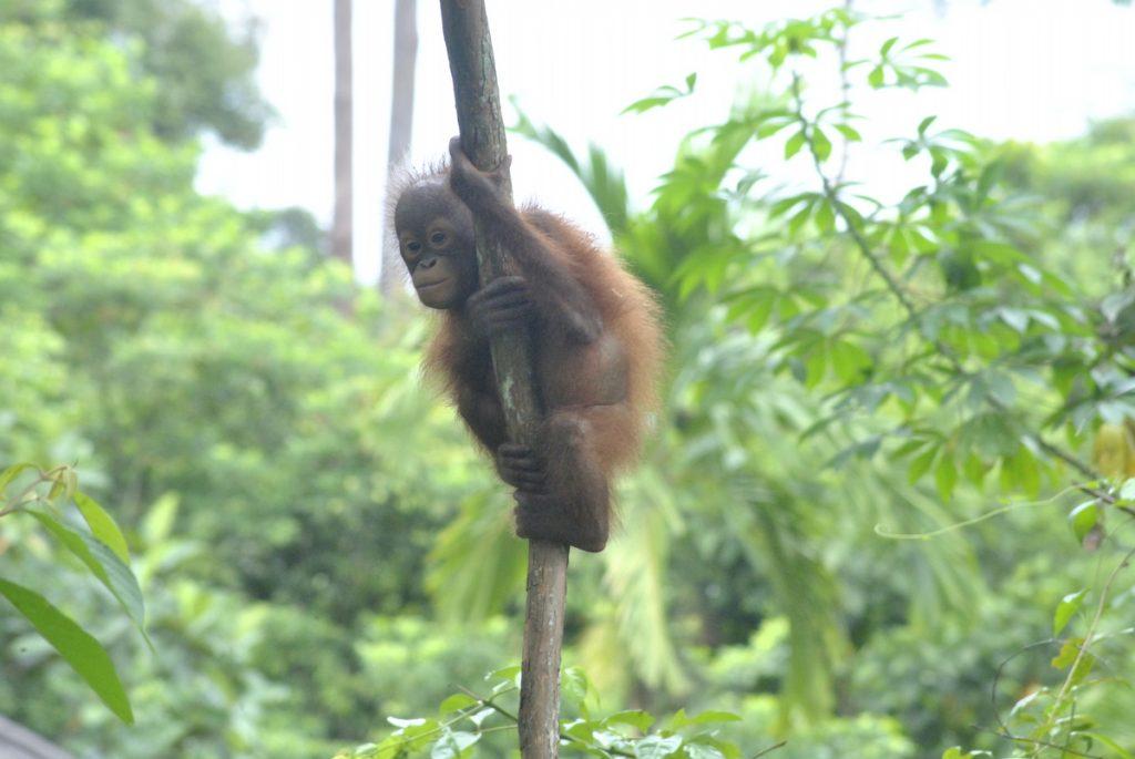 Werken in een opvangcentrum Sintang Orangutan Center | Rowena Goes Ape (2)