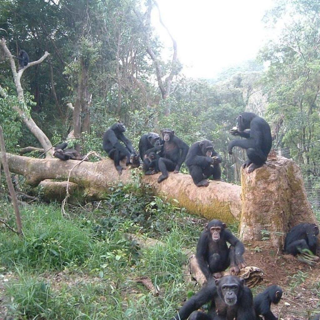 Werken in een opvangcentrum Tacugama Chimanzee Sanctuary | Rowena Goes Ape (1)