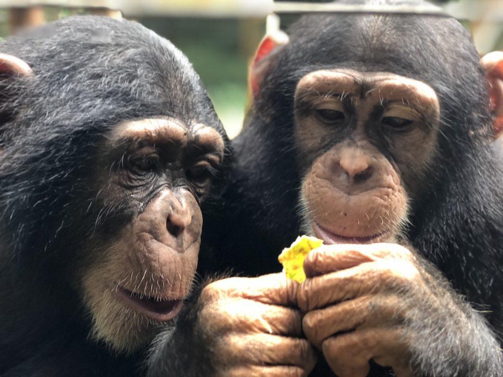 Werken in een opvangcentrum Tacugama Chimanzee Sanctuary | Rowena Goes Ape (4)