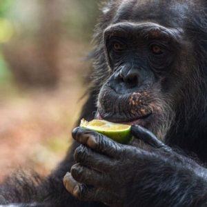 TOM - Guardianship Tacugama Chimpanzee Sanctuary